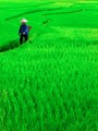 Rice field in Babao, Yunnan, china