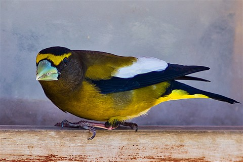 2011-05-03_1Evening-Grosbeak_OS