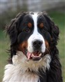 Frits, the Bernese Mountain Dog