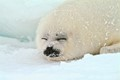 baby harp seal snoozing on ice floe in north atlantic