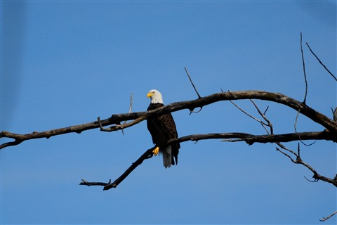 Cropped Eagle 2-5-11