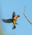 Cedar Waxwing about to land