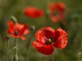 Red Poppies at f2.8