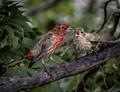 Finches Feeding