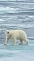 majestic polar bear walking across arctic ice floe and looking toward camera