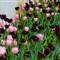 Tulip Festival - Holland, MI