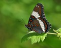 BEAUTIFUL MALE WHITE ADMIRAL