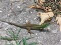 Lizard under the Sun