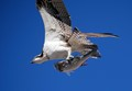 Osprey with his victim