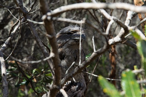 Tawny Frogmouth Owl-2