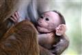 Baby macaque suckling