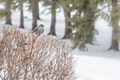 Female Pine Grossbeak