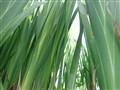 Iris stalks