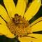 Yellow_Beetle.jpg