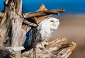 boundry bay owls_0126_12-02-07