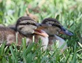 Happy Ducklings