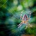 Araneus diadematus (Garden Spider)