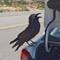 canyon_crow