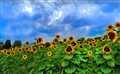 Sunflower_Farm