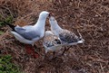 Silver gull feeding chicks
