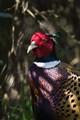 1.7x Common Pheasant