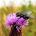 fly-flower