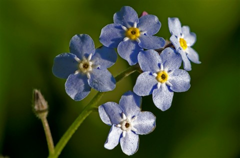 Forget-me-not (Myosotis species - Boraginaceae)