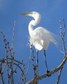 Egret Standing Tall On A Clear Day