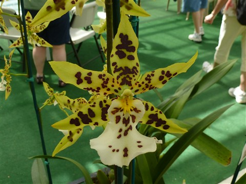 P1010554 Orchid at Akatsuna Orchid Farms, Hilo, HI