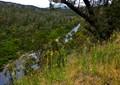 Invasive Evening Primrose