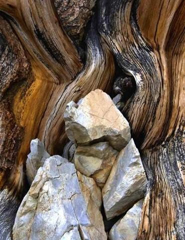 BristleconePine_Rocks_WhiteMtns_InyoNFCA_S1XS_050212_reduced