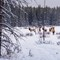 herd of elks grazing in the winter forest by Lake Minnewanka at: OLYMPUS DIGITAL CAMERA