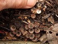 birds nest fungus' fruiting bodies