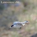 Nuthatch in Flight