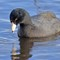 IMG_3716_coot