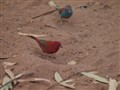 Red-billed Firefinch & Red-cheeked Cordenbleu