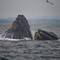 HumpbacksFeeding_103