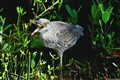 Juvenile Yellow-Crowned Night Heron with a catch