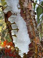 Eucalyptus Tree Trunk