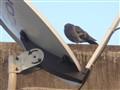 Sleepy pigeon