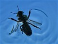 Swimming  Wasp