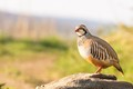 Red Legged Partridge on a rock