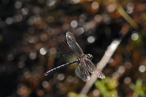 CRC_1763_DragonflyB