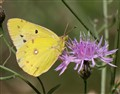 Sulphur on spotted knapweed.
