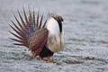 Male Greater sage grouse