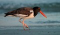 Oyster Catcher At Golden Hour