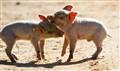 Piglet Fight