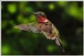 Hummingbird Elegance
