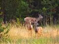 Deer at Canyon Lodge