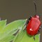 Beetle - Lilioceris lilii (Scarlet Lily Beetle) (1)